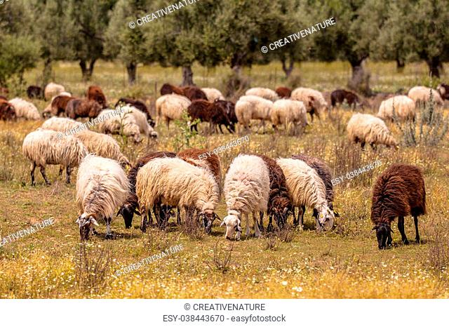 Herd of long haired black and white sheep grazing in dehesa like olive grove on Lesbos island, Greece