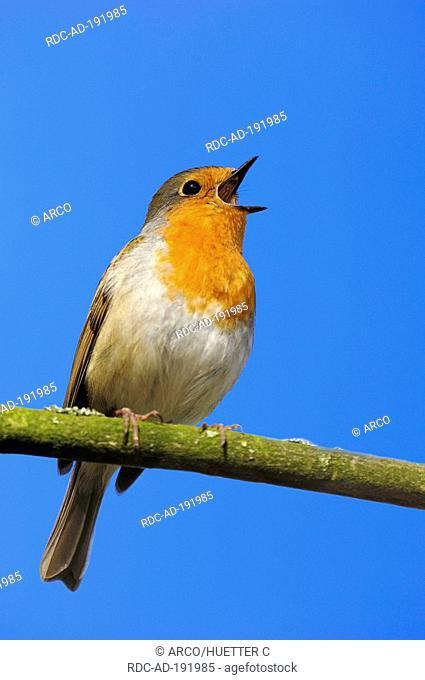 Robin, North Rhine-Westphalia, Germany, Erithacus rubecula