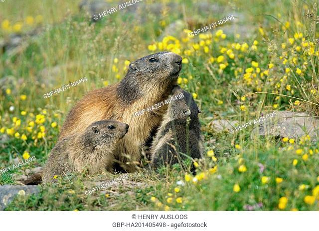 França, Marmota alpina, Marmota Marmota, adult, young