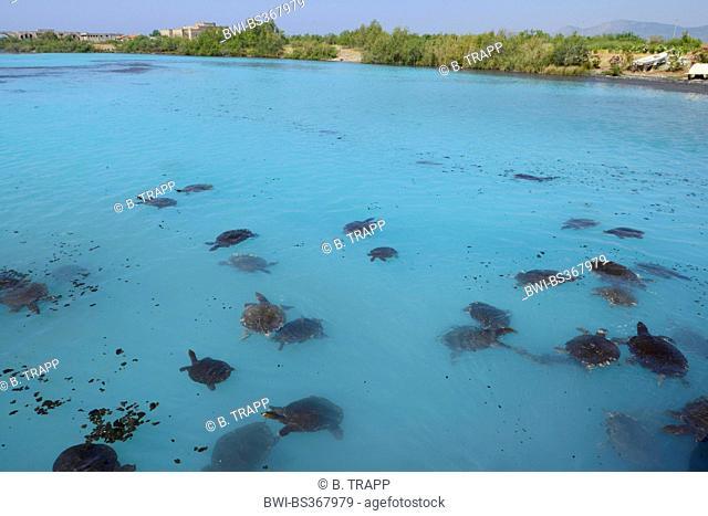 African softshell turtle, Nile softshell turtle (Trionyx triunguis), softshell turtles swimming in the lagoon of Dalaman, Turkey, Lycia, Dalaman , Mugla