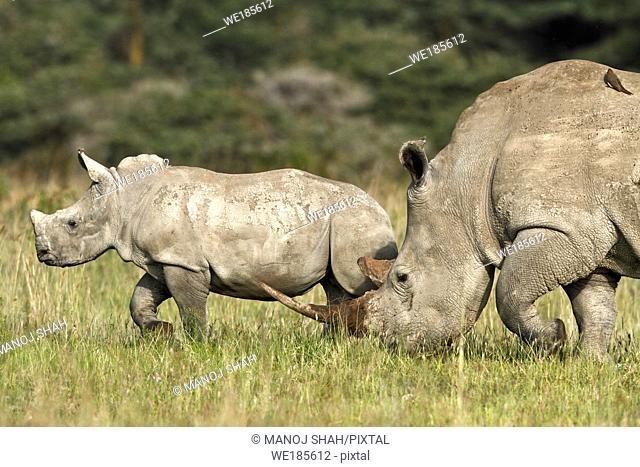 White Rhinos grazing at the Lake Nakuru National Park