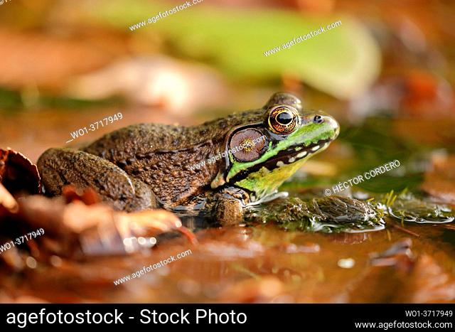 Close up of American bullfrog (Lithobates catesbeianus) in freshwater lake of North America