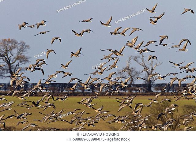 Pink footed Geese, winter flock flying over sugar beet fields at Brancaster, North Norfolk