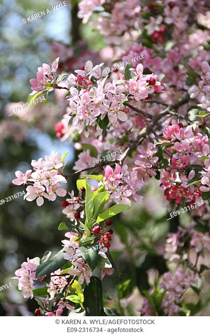 flowering fruit tree with blossoms in various stages of opening, Monroe County, Indiana