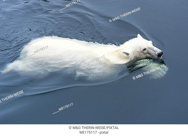 Polar Bear (Ursus maritimus) swimming, Svalbard Archipelago, Norway