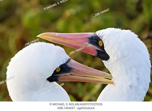 Adult Nazca booby Sula grantii pair in courtship in the Galapagos Island Archipelago, Ecuador  MORE INFO Nazca boobies are known for practicing obligate...