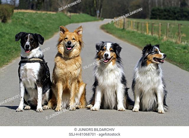 Four dogs sitting on a small road: Mixed-breed dog, Garafian Shepherd, pair of Australian Shepherds (from left to right). Germany