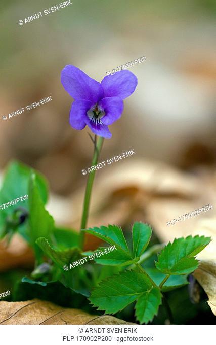 Early dog-violet / pale wood violet / slender wood violet (Viola reichenbachiana) in flower