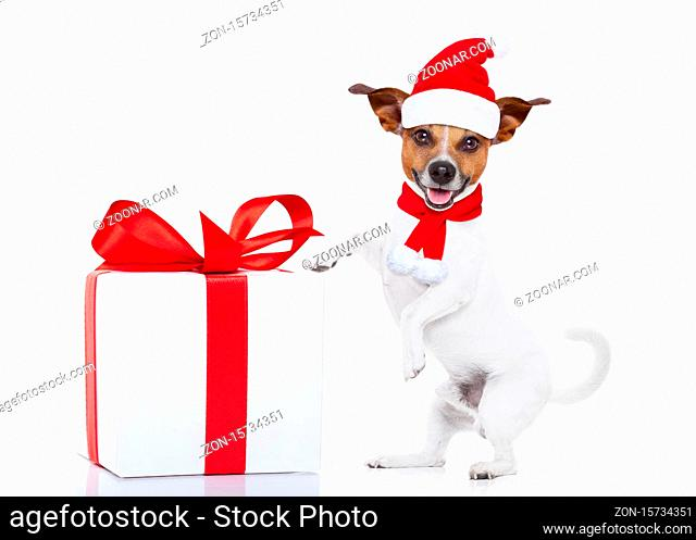 jack russell dog with red christmas santa claus hat for xmas holidays and a gift or present box