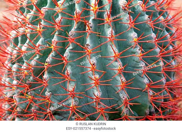 Blue cactus with red needle