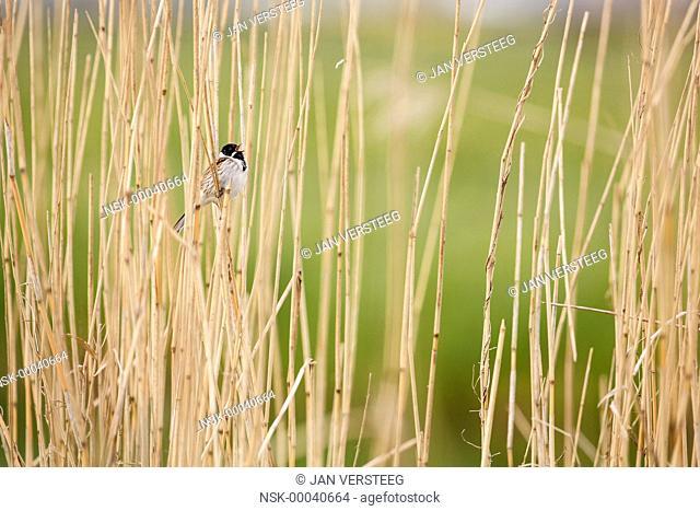 Common Reed Bunting (Emberiza schoeniclus) singing on a reed stem, The Netherlands, Gelderland, Hollanderbroek