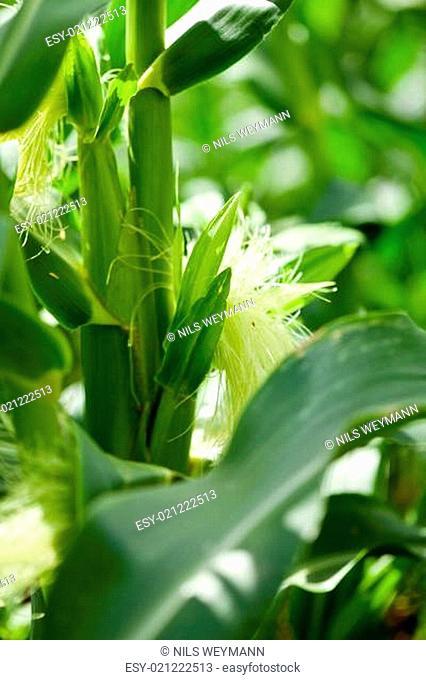 frischer mais auf dem feld im sommer grün natur