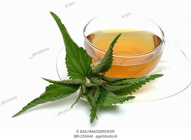 Herb tea made of Common nettle, stinging nettle, fresh parts and cup of tea, herb, medicinal plant, Ortica comune