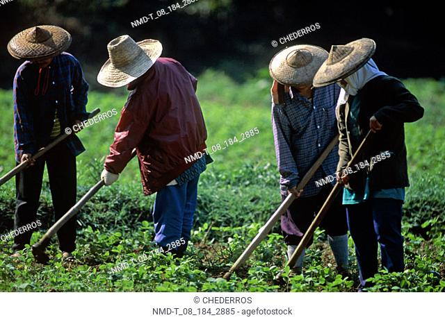 Four people harvesting in a field, Thailand