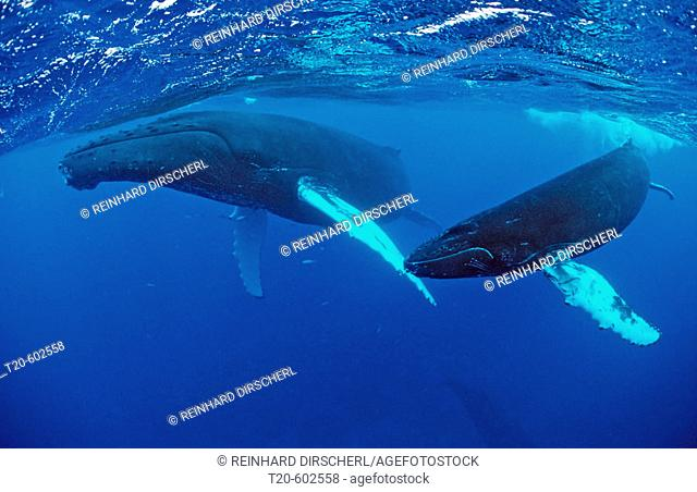 Humpback whale, mother and Calf, Megaptera novaeangliae, Silverbanks, Caribbean Sea, Dominican Republic