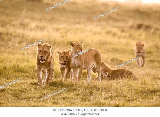 African Lion (Panthera leo) pride on the move, Maasai Mara National Reserve, Kenya, Africa