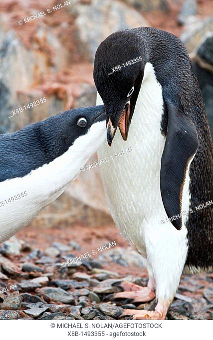 Adélie penguin Pygoscelis adeliae adult feeding chick at breeding colony at Brown Bluff on the eastern side of the Antarctic Peninsula