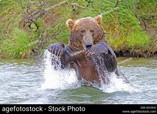 Alaska , Katmai National Park and Preserve , Grizzly bear ( Ursus arctos horribilis ) , order : carnivora , family : ursidae ,