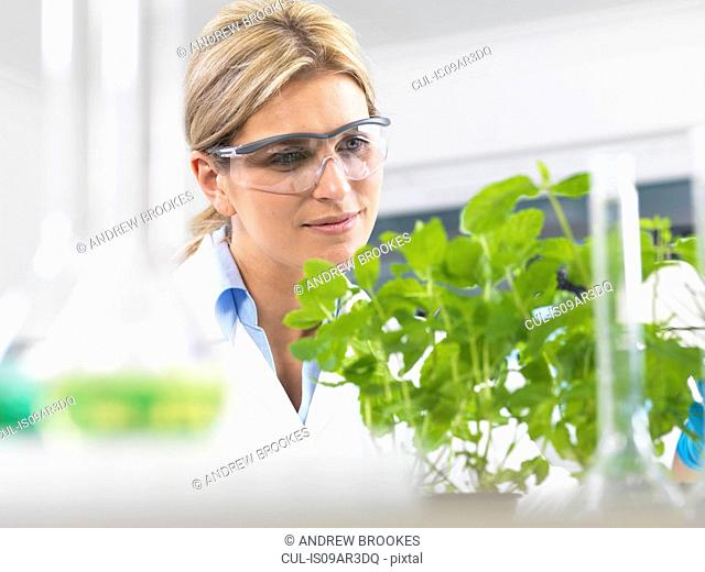 Scientist viewing development of experimental plants in research laboratory