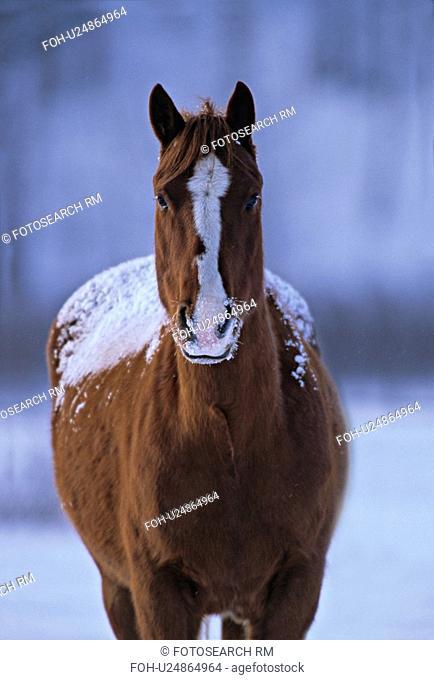 horse winter close up portrait pinto alert eye