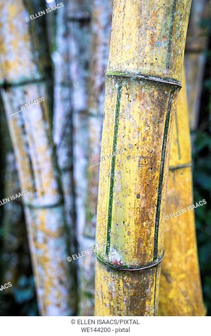 Closeup of bamboo stem culms in Costa Rica