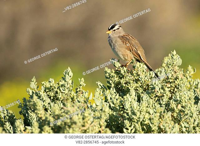 White-crowned sparrow, Carrizo Plain National Monument, California