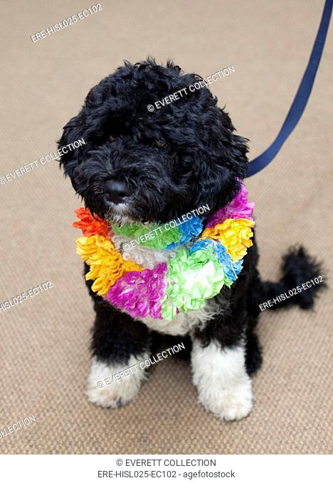 Bo the Obama family dog wearing Hawaiian lei sits for his first White House portrait. April 2009., Photo by: Everett CollectionBSLOC-2011-7-12
