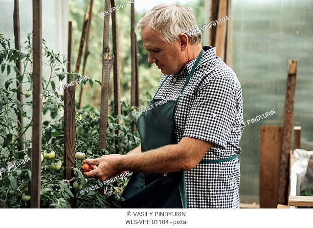 Gardener in greenhouse holding tomatoes