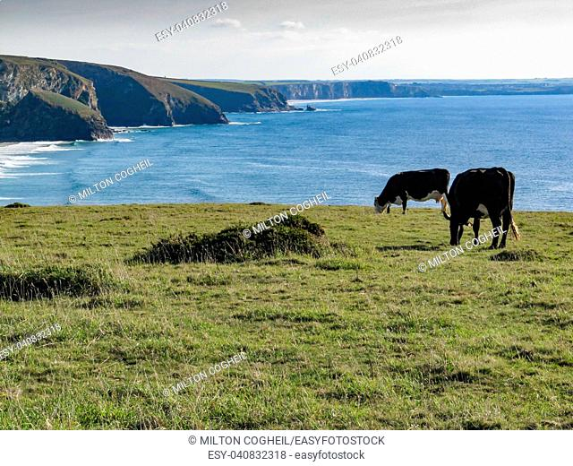 Cows grazing near Bedruthan Steps, Cornwall