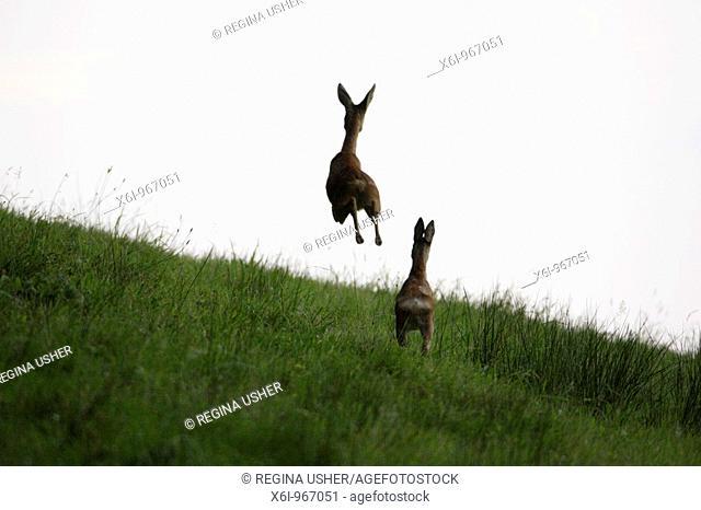 Roe Deer Capreolus capreolus, two animals fleeing danger, , Germany