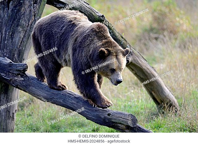 France, Moselle, Animal Park Saint Croix, Rhodes, Brown Bear (Ursus arctos) is moving on a dead tree branch