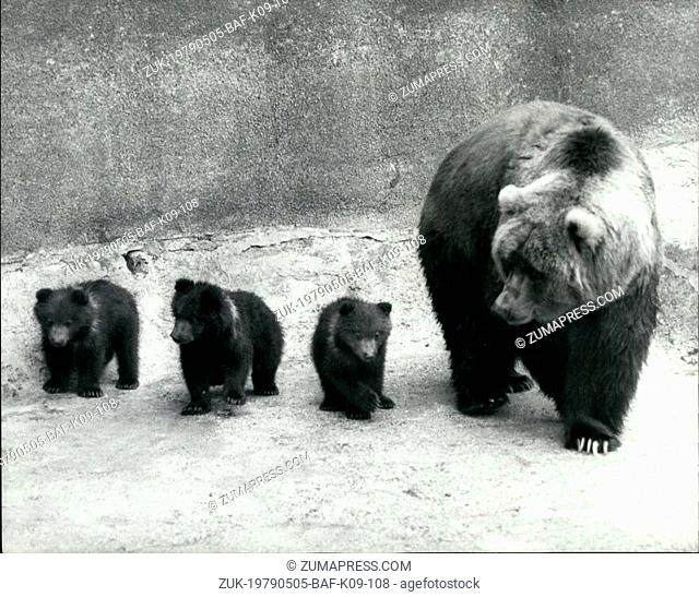 May 05, 1979 - Wilma shows off her Triplets at Whipsnade: Wilma, an adult female Kodiak bear, today showed off her new family of triplets for the first time at...