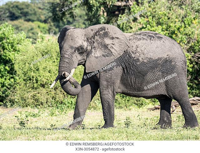 An elephant walks among the local flora of the Chobe National Park - Botswana