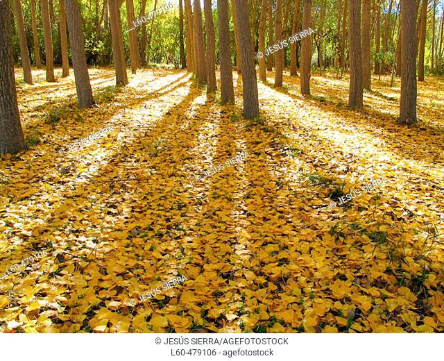 Poplars, leaves. Segovia province. Castilla y Leon. Spain
