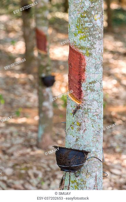 Rubber tree with plastic bowl for Tapping rubber milk