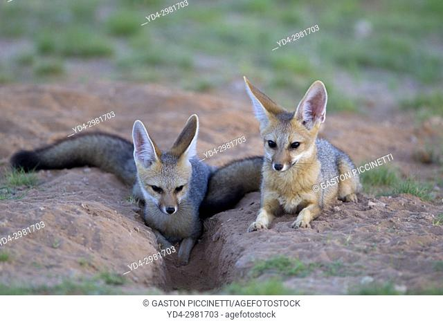 Cape Fox (Vulpes chama), Kgalagadi Transfrontier Park, Kalahari desert, South Africa.