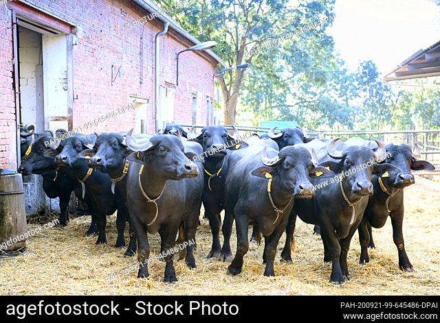 16 September 2020, Brandenburg, Jüterbog: Black water buffalos stand next to the stable in the Bobalis Agrargesellschaft GmbH