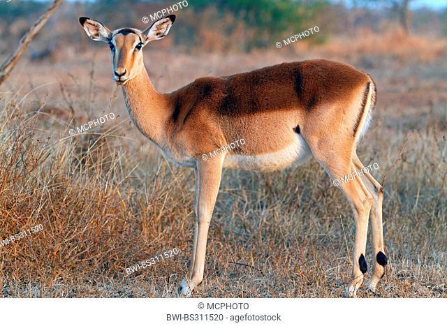 impala (Aepyceros melampus), female standing in savannah, South Africa, Krueger National Park