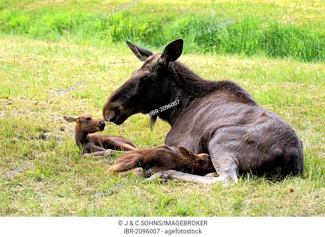 Eurasian elks, moose (Alces alces), cow moose and two calves, Scandinavia, Europe
