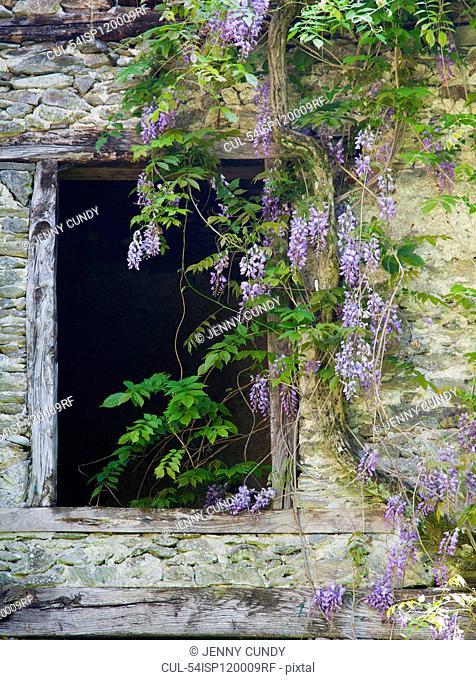 Flowers growing around old window