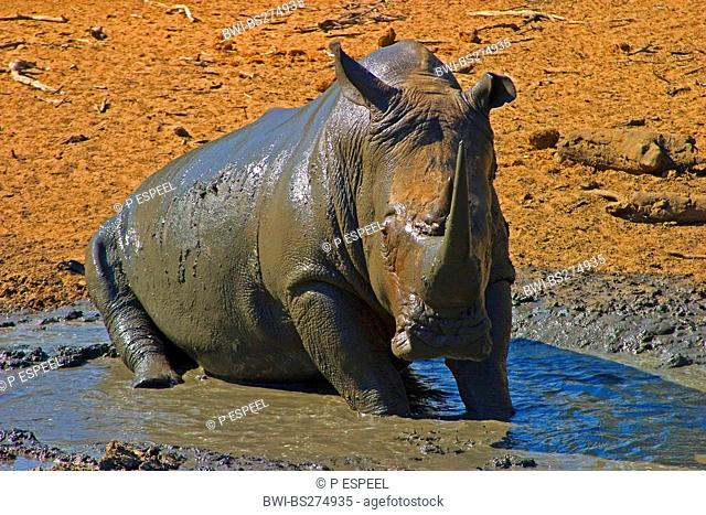 white rhinoceros, square-lipped rhinoceros, grass rhinoceros Ceratotherium simum, taking mud bath, South Africa, Kwazulu-Natal, Mkuze Game Reserve