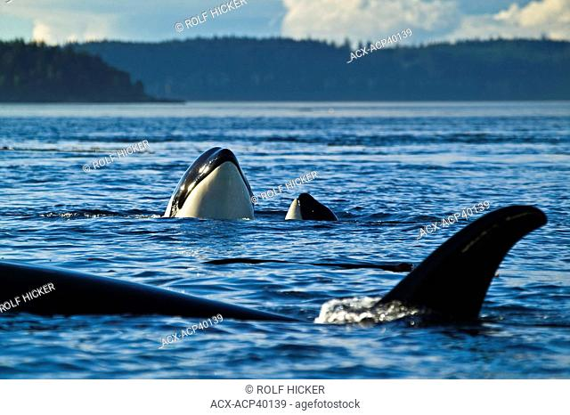 Three Killer Whales Orcinus orca, two of them spyhopping, near Vancouver Island, British Columbia, Canada