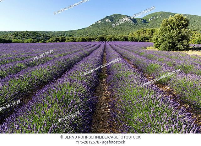 lavender field near Roussillon, Luberon, Vaucluse, Provence, France
