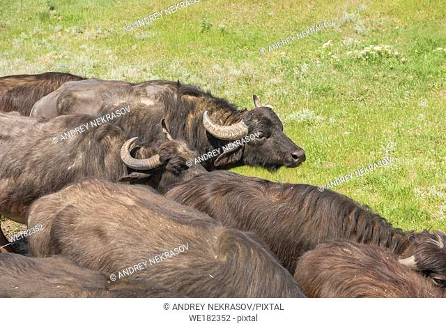 The herd of 7 water buffaloes was released on Ermakov Island in the Ukrainian Danube delta. The animals were brought from Transcarpathia by â