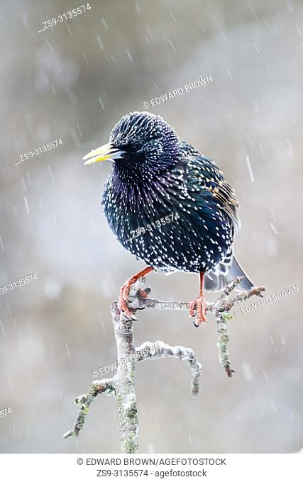 A Starling (Sturnus vulgaris) during a snow shower, East Sussex, UK