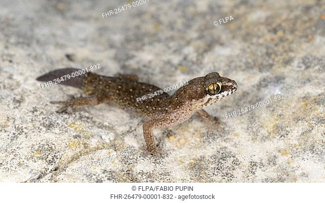 Ocellated Thick-toed Gecko (Pachydactylus geitje) adult, standing on rock, Western Cape, South Africa, February