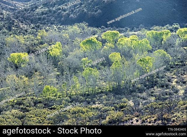 Fresh spring greenery along Sycamore Creek, Arizona Trail, Arizona, U. S. A