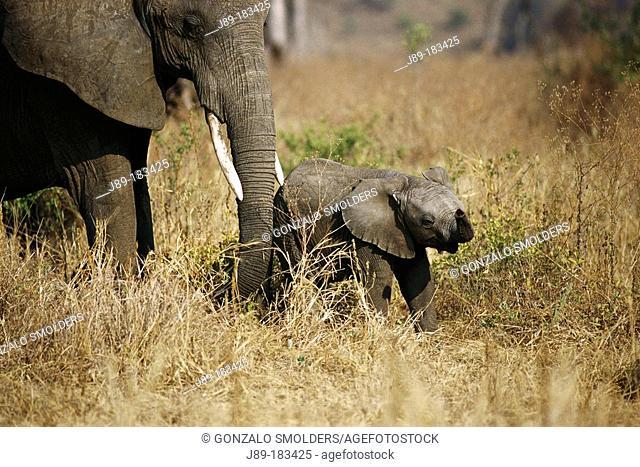 African Elephants (Loxodonta africana), mother and young. Tarangire NP. Tanzania