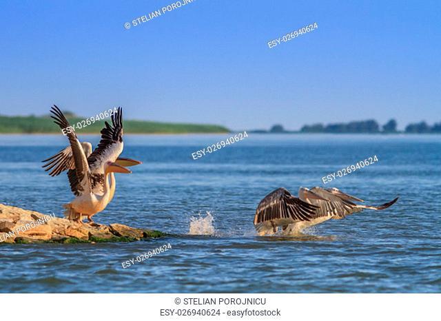 white pelicans (pelecanus onocrotalus) in flight in Danube Delta, Romania