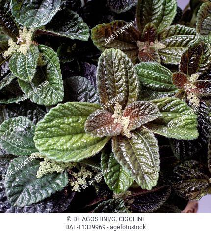 Friendship plant or Panamiga (Pilea involucrata), Urticaceae